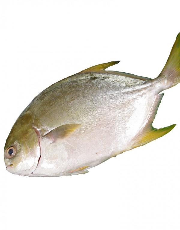 金鲳鱼-0