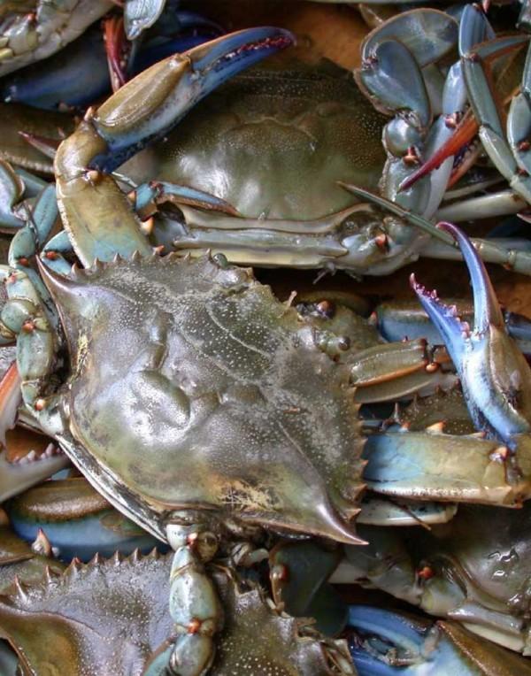 螃蟹(蓝蟹)(兰蟹)(公)-0
